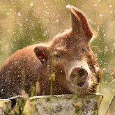 Pigs T